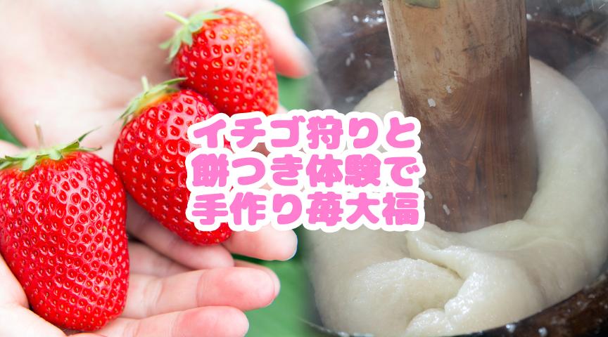【千葉県柏市】イチゴ狩りと餅つき体験で苺大福を手作りしよう!