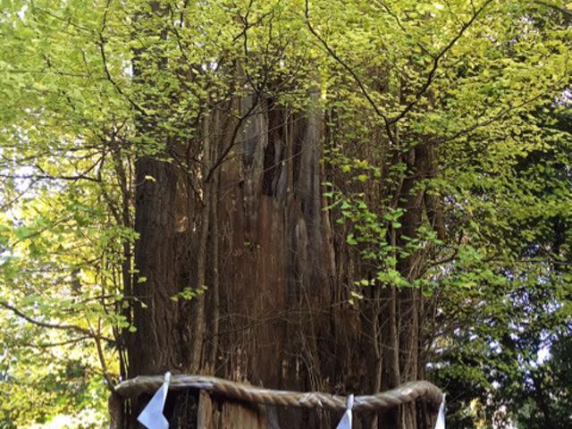 大国魂神社の御神木、樹齢千年の大銀杏にて 日本最古の癒し歌 あわうたの詠唱。