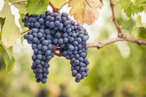 絶大な人気を誇るワインブドウ界の女王ピノ・ノワール
