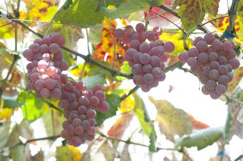 ワインに使われる日本固有のブドウ品種について知ってみよう