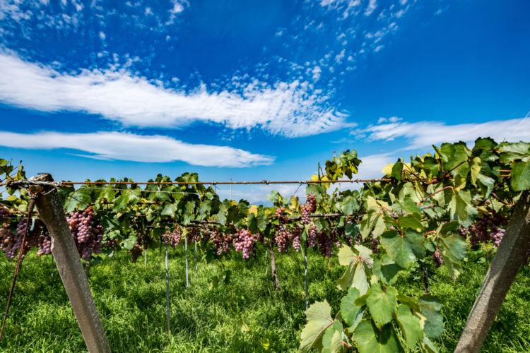 日本屈指のぶどうの産地・甲州勝沼のワイナリー