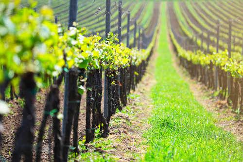 本格ワイン「エーデルワイン」など、5つのワイナリー有する岩手のワイン