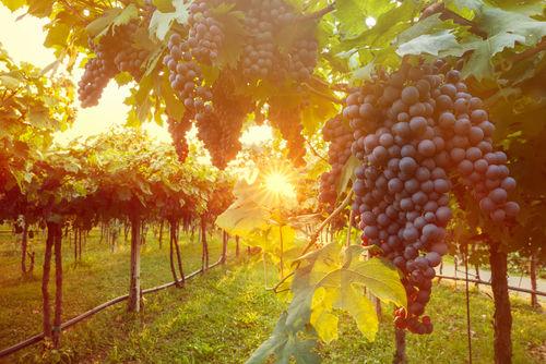 丁寧なワイン造りを続ける富山県のワイナリー