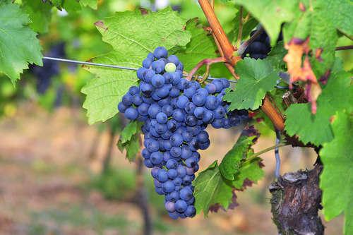 フランスではボルドーワインに欠かせないと言われる「メルロー」って?