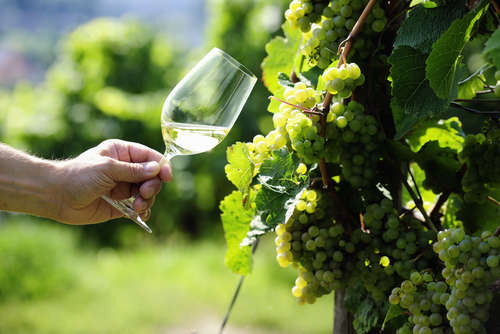 高品質の白ワインを生み出すリースリングとは?