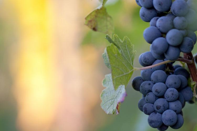ワインで人気のピノ・ノワールの魅力に迫る