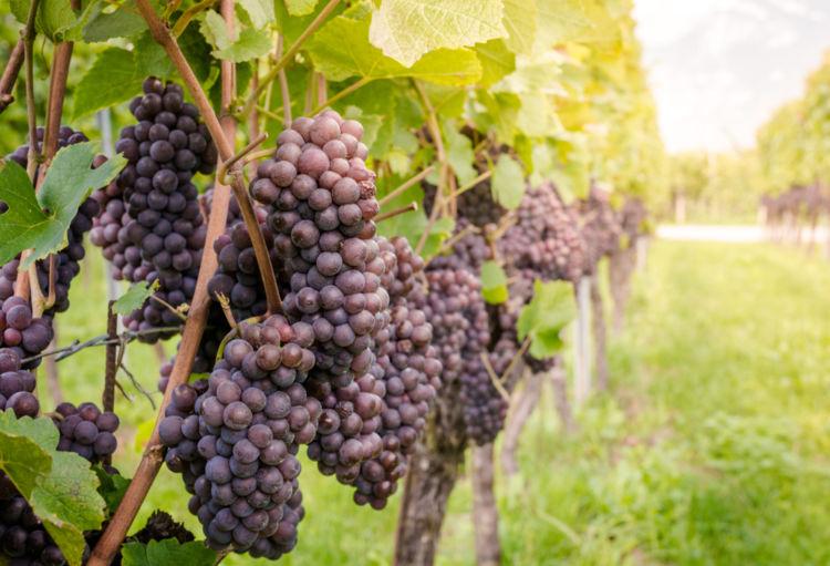 「ピノグリージョ」はワイン用ブドウの人気品種