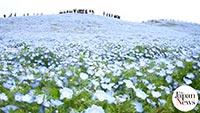 Blue nemophila covers a park hill