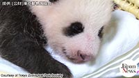 Panda cub opens eyes to world