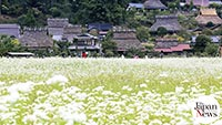 Buckwheat blooming