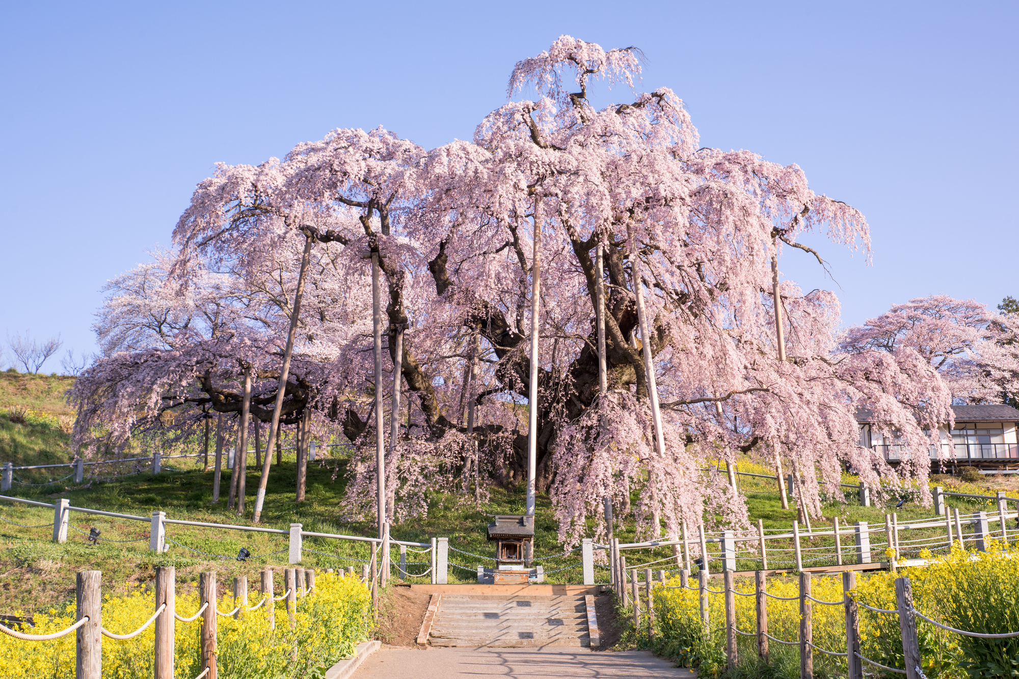 Miharu Takizakura Weeping Cherry Blossom Tree The Gate Japan
