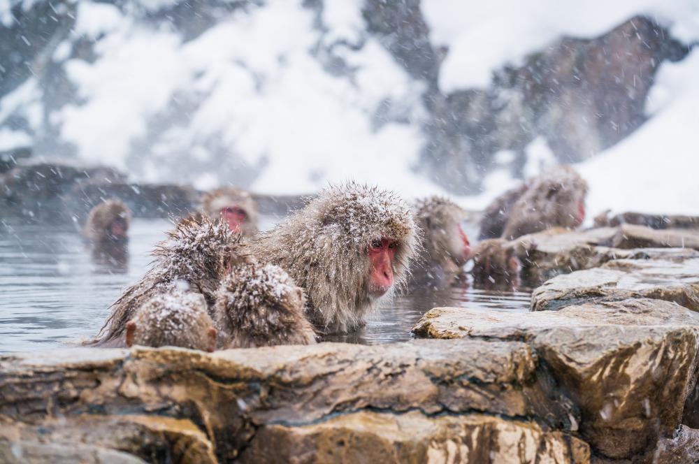 地狱谷野猿公苑 泡温泉的日本猴