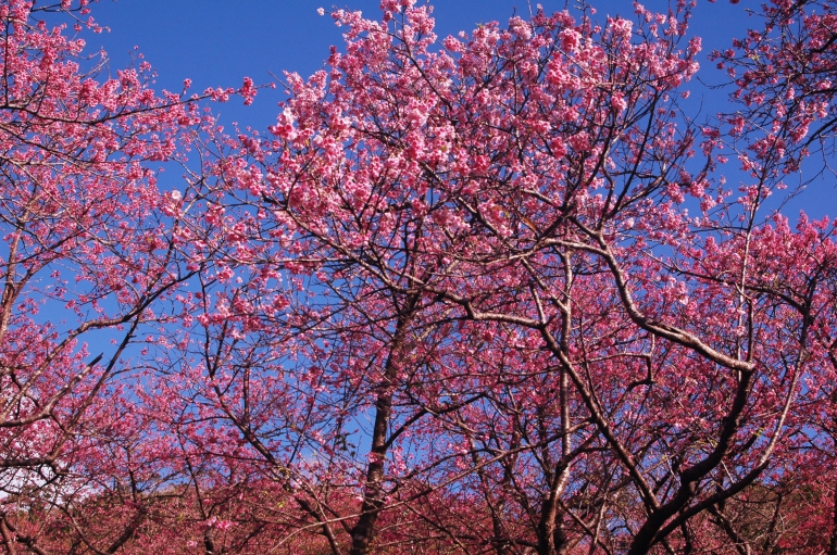 Okinawa's Kanhi-zakura cherry flowers