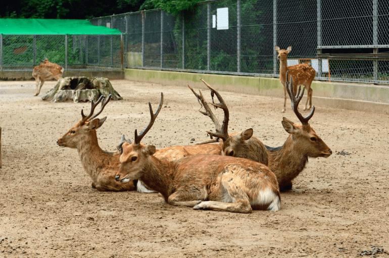 鹿島神宮鹿園の神鹿