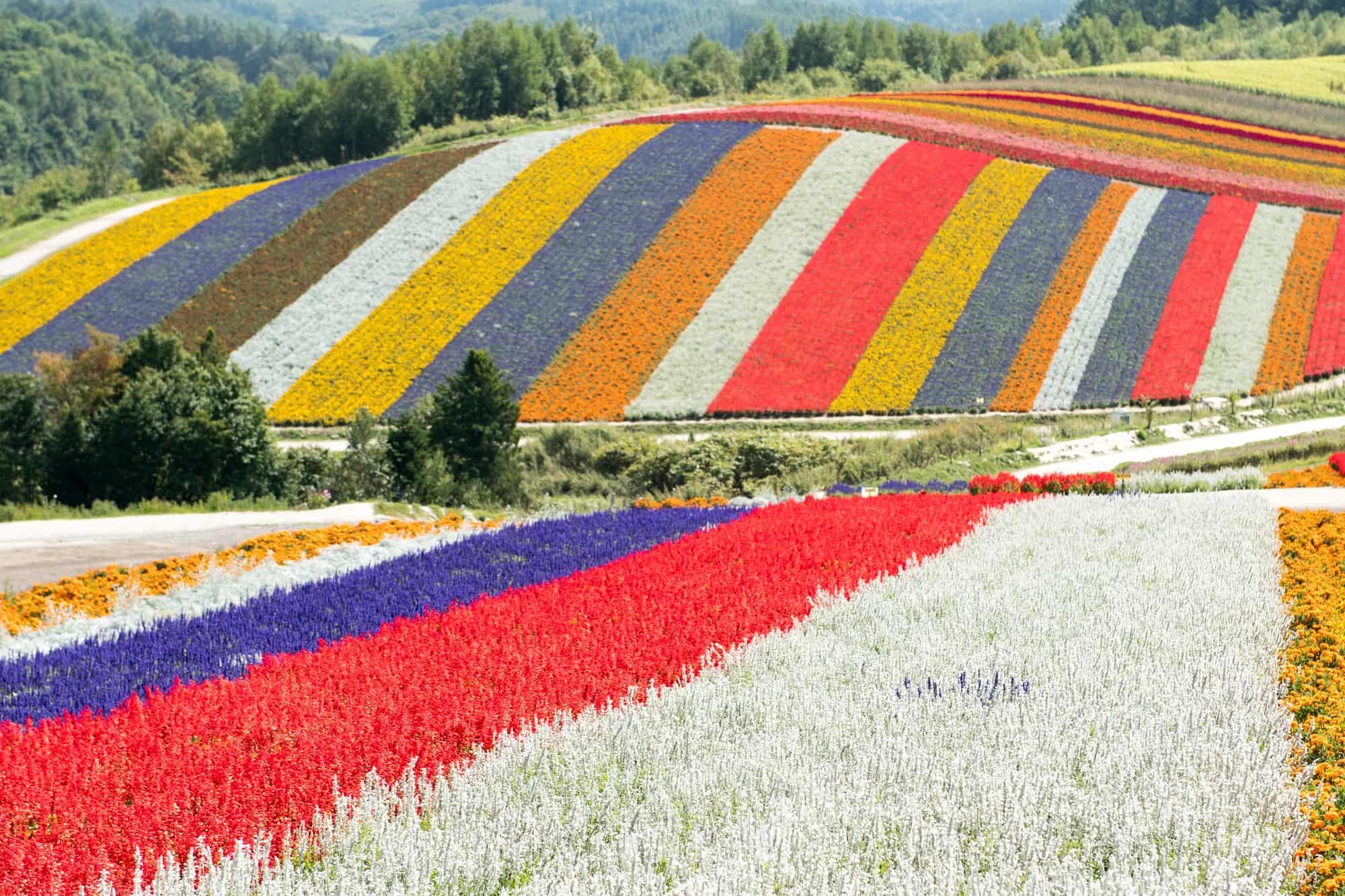 Flower fields of Shikisai-no-oka