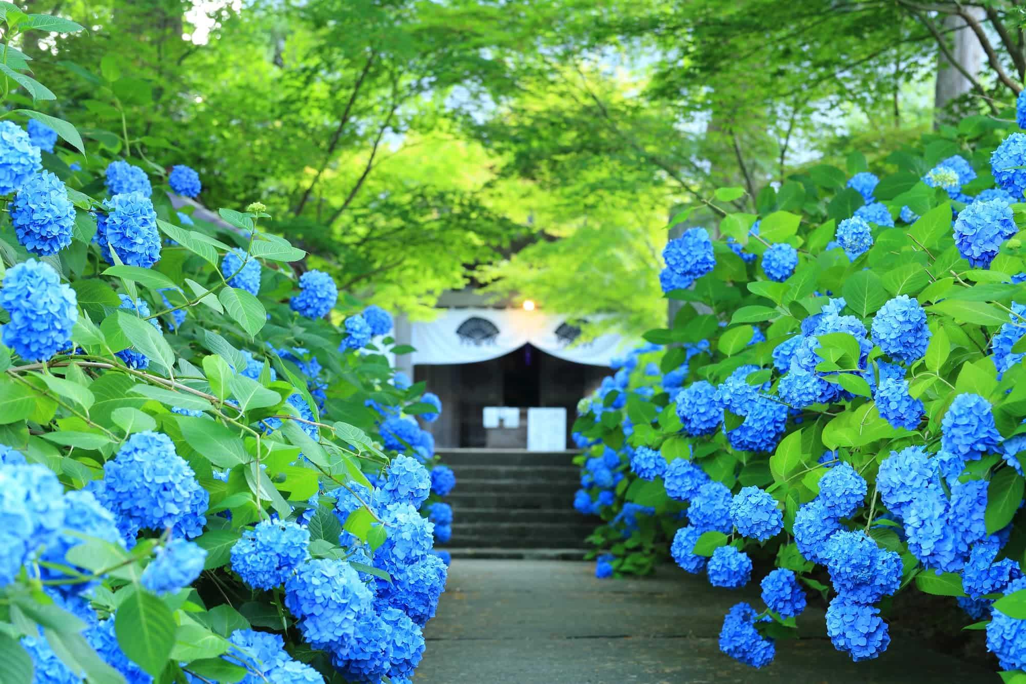 Unshoji Temple hydrangeas early summer