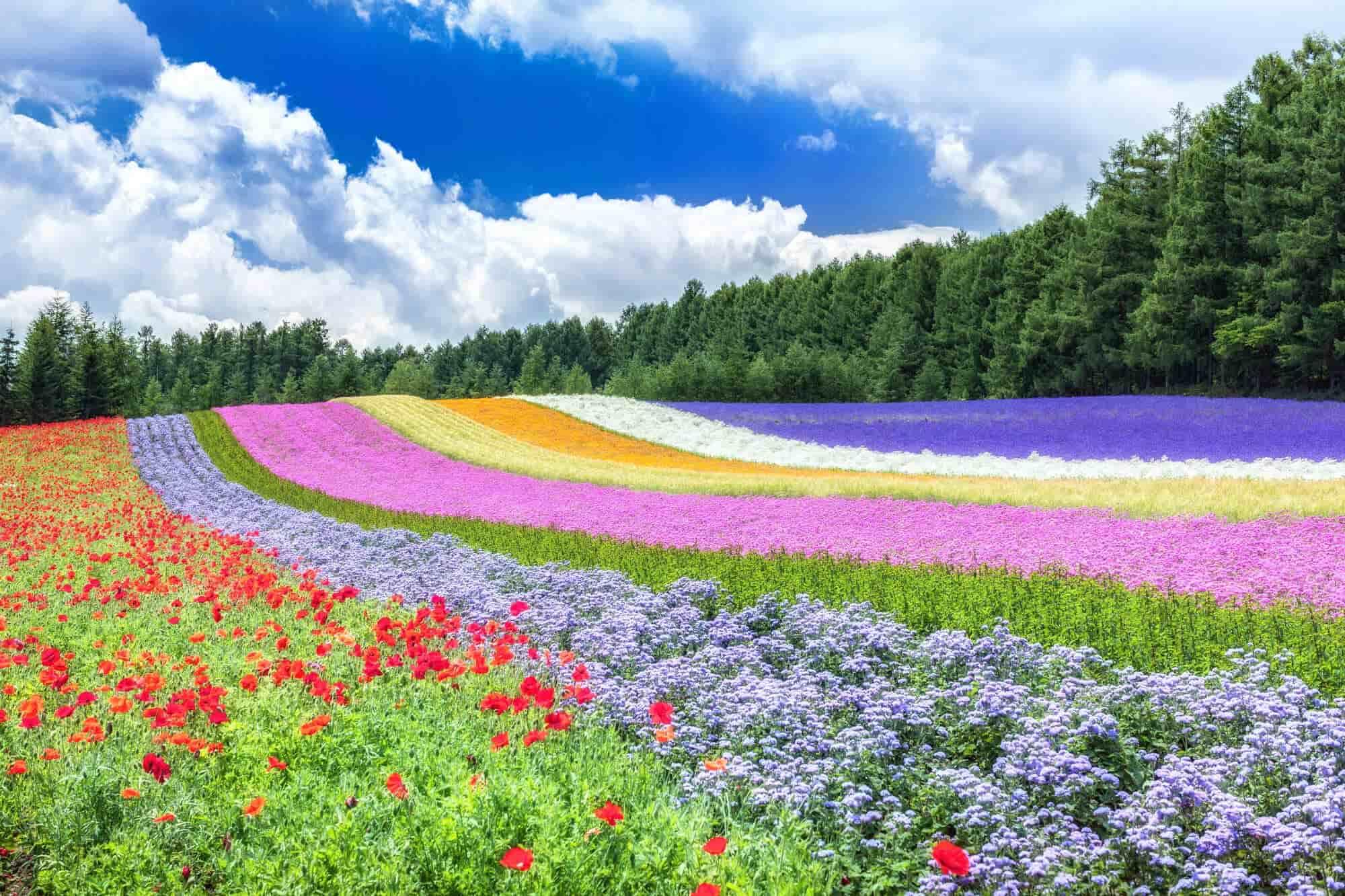 北海道富田农场的花田