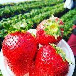 【日帰りの超穴場!】春の味覚《いちご》食べ尽くし♡関東おすすめスポット5選のサムネイル画像