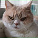 たくさんの可愛いをくれた!怒り顔猫・小雪、怒ってなどいない特集のサムネイル画像
