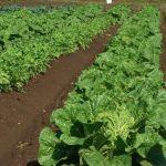 私たちが毎日食べている野菜。皆さんの野菜の育て方を教えて☆のサムネイル画像