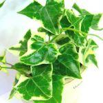 グリーンがあるとこんなに華やか♡ガーデニングでのアイビーの植え方のサムネイル画像
