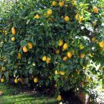 庭木に何を植えていますか?これからは果樹を育ててみませんか?のサムネイル画像