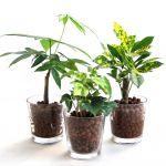 初心者でも大丈夫?ハイドロカルチャーで観葉植物を育てたいのサムネイル画像