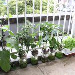 ベランダで野菜を育ててみよう!おいしく野菜を育てる方法☆のサムネイル画像