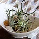 エアープランツは、空気中から水を吸収します。栽培方法を書きます。のサムネイル画像