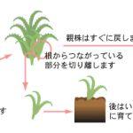植物の育て方として、増やし方に、株分けがあります。方法を書きますのサムネイル画像
