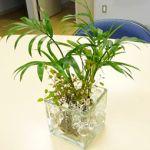 お部屋のオアシスとなる観葉植物!水栽培は、どうでしょう?のサムネイル画像