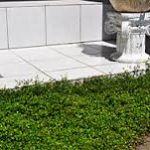 植物のワイヤープランツを、地植えで育てている方を調べてみます!のサムネイル画像
