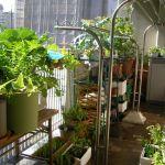 バルコニーでステキな家庭菜園を!オススメの野菜や方法を紹介のサムネイル画像
