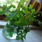 ハイドロカルチャー。水耕栽培の事です。植え替えについて調べます!のサムネイル画像