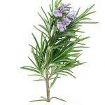 ローズマリーの挿し木は難しい!?失敗しない方法をお教えしますのサムネイル画像
