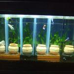 たかが魚と侮らないで!?betterなベタの水槽、飼育環境は?のサムネイル画像