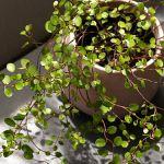 我が家の癒しアイテム!ワイヤープランツの増やし方をご紹介しますのサムネイル画像