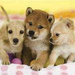 住宅環境や経験、家族構成など目的別の飼いやすい犬種と飼い方まとめのサムネイル画像