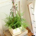 フワフワ可愛いグリーン!観葉植物のアスパラガスをご紹介。のサムネイル画像