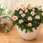 憧れのバラを鉢植えで楽しもう!バラの鉢植え情報まとめてみましたのサムネイル画像