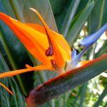 美しい花を咲かせる☆観葉植物「ストレリチア」を育てよう!のサムネイル画像
