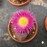 キレイな花を咲かせる人気の多肉植物☆メセンを育ててみよう!のサムネイル画像