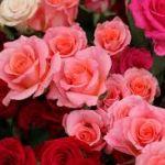麗しいバラを育ててみたい!初心者にもできるバラの育て方・楽しみ方のサムネイル画像