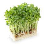 栄養満点の豆苗!!1週間もあればまた栽培できちゃう優秀な野菜のサムネイル画像