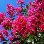 夏の暑さに負けない鮮やかなサルスベリ、剪定して毎年楽しみましょうのサムネイル画像