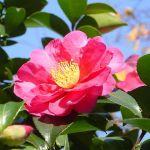 【11月の花特集!】11月の花といえば?人気品種を厳選紹介。のサムネイル画像
