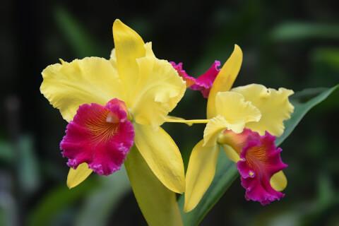 12月の花:カトレア