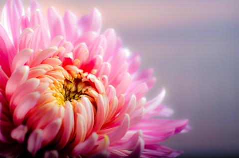 11月の花:キク