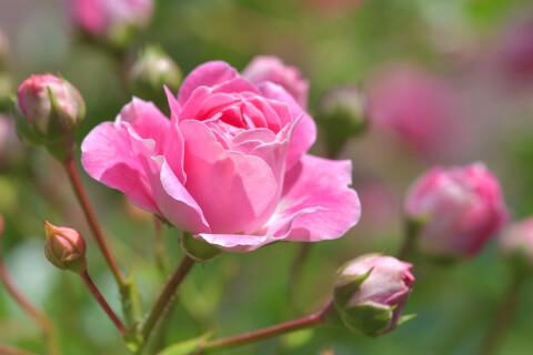 6月の花:バラ