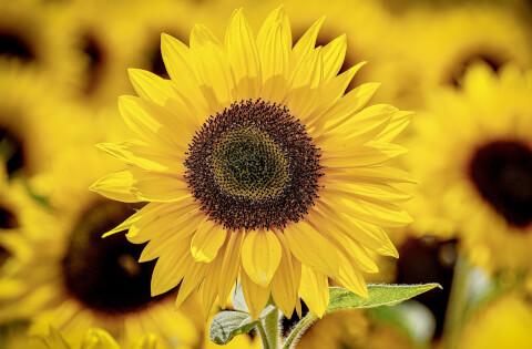 8月の花:ヒマワリ